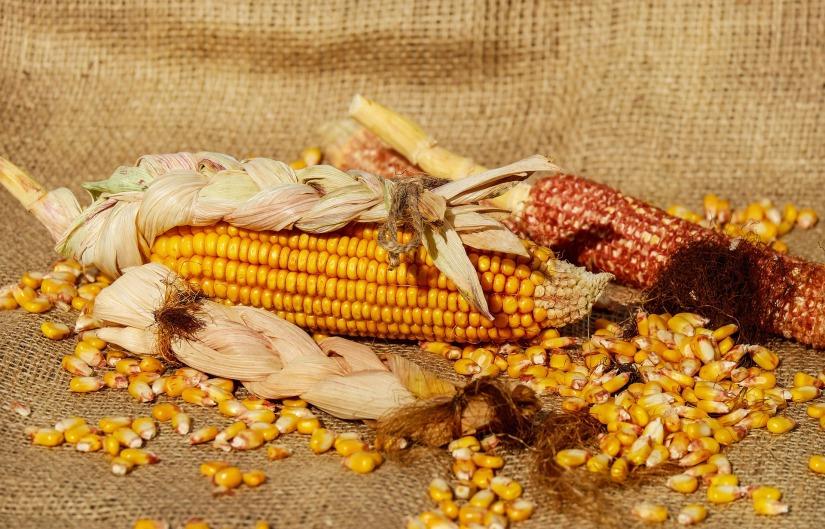 corn-1725636_1920
